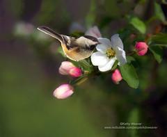 Apple Blossom and Chickadee (kweaver2) Tags: redbubble kathyweaver apple blossom bird chickadee flower bloom wildlife nature composite