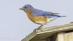 Eastern Bluebird IMG_4045 (ronzigler) Tags: thrush songbird nature birdwatcher avian wildlife bluebird eastern bird watcher