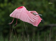 Roseate Spoonbill Takeoff (MyKeyC) Tags: fortdesoto roseatespoonbill takeoff wingsforward