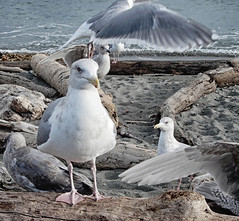 Glaucous ?, adults with juveniles