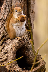 About to Chow Down (Eric Tischler) Tags: red squirrel ohio eating