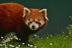 Red Panda- Dublin Ireland Zoo (Valerie Sauve-Vancouver) Tags: redpanda animals zoo dublinireland nature travel trip