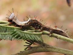wattle moth larvae of Neola semiaurata on wattle (jeaniephelan) Tags: insects caterpillar larvae wattlemothcaterpillar