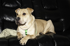Jack on the couch (Dad from Hell) Tags: 5months canada canadarocks christmas christmas2018 garypaakkonen jack kitchener paakkonen photography sharpeienglishbulldogboxermastiff canine d300s dog doggo home nikon ontario pupper puppy puppydog wildlife winter iamcanadian