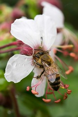 Garden Andrews G9 Apis melifera on gaura AND_7715.jpg (st peters gardens armidale) Tags: 2018 apinae animalia plants water gardenweekend toprint insect myrtales northerntablelands garden mellifera apidae hymenoptera wildlife honeybee stpeters leecerd events animals fauna places waterdrops flowering onagraceae butterflyplant apocrita gaura apoidea apini church nature towngarden magnoliophyta uralla urallashire nsw weather phanerogamae newengland magnolopsida plant australia macro flora arthropoda beeblossom plantae apis gardenweekendflickr angiospermae insecta rain eudicot dicot