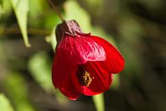 Abutilón (Abutilon sp). (Andres Bertens) Tags: 6151 olympusem10markii olympusomdem10markii olympusm45mmf18 olympusmzuikodigital45mmf18 rawtherapee abutilón flower