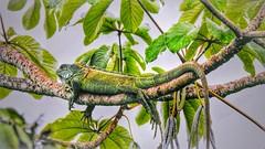 Iguana (sileneandrade10) Tags: sileneandrade iguana iguanaiguana pantanal lagarto photoedition photoart playphoto réptil animal artnature floresta verde nikoncoolpixp900 nikon natureza camuflagem árvore hdr