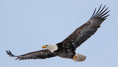 Soaring Eagle (edhendricks27) Tags: wildlife winged animal eagle nature bird canon