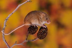 Harvest mice 18 12.01.19 (Lee Myers - aka mido2k2) Tags: harvest mice mouse mammal small native wildlife uk countryside nature natural studio light portrait setup nikon d7100 flash strobe sigma macro 105mm cute smile happy fluffy rodent