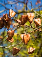 Living my life like it's golden. 😊  #seeds #mextures #fingerprintofGod #macro_drama #graphic #goldenrain #botanical #leaves #macro_vision #art #greenliving #tones #filthyflora #plantsinfocus #Flickr_nature #landscape #urbanjungle #naturelover  #plan (jophipps1) Tags: filthyflora beauty macrobrilliance mextures plantsofinstagram plantlife botanical leaves tones graphic goldenrain macro art macrodrama nature seeds greenliving macrovision bokehbliss fingerprintofgod flickr plantsinfocus flickrnature naturelover urbanjungle landscape macrodreams