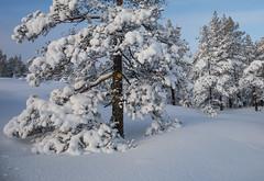 Arbre couvert de neige (sosivov) Tags: sweden snow winter white trees forest landscape