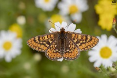 Fritilaria-dos-lameiros, Marsh Fritillary (Euphydryas aurinia) (Nuno Xavier Moreira) Tags: fritilariadoslameiros marshfritillaryeuphydryasauriniaemliberdadewildlifenunoxavierlopesmoreira animals animais nature natureza selvagem pics wildlife wildnature wild photographer portugal ao ar livre ngc nuno xavier moreira nunoxaviermoreira liberdade national geographic borboletas butterfly butterflies macro miniaturas insectos insects all xpress us