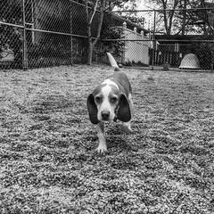 Captain_Spock18Jan2019119-Edit.jpg (fredstrobel) Tags: dogs pawsatanta atlanta usa animals ga pets places pawsdogs decatur georgia unitedstatesofamerica us