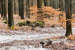 Snow in Beech Forest (Rachel Dunsdon) Tags: 2019 hampshire blackwood forest snow moss logs