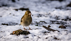 Chaffinch (female) in the snow (vickyouten) Tags: chaffinch nature naturephotography wildlife britishwildlife wildlifephotography nikon nikond7200 nikonphotography sigma sigma150600mmc penningtonflash leigh uk vickyouten