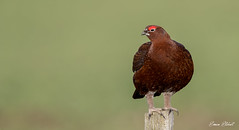 Red Grouse (Simon Stobart) Tags: red grouse lagopus post north east england uk
