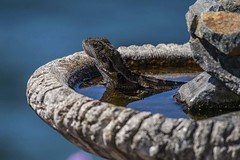 Eastern Water Dragon (Junior) (Geoffsnaps) Tags: nikond810 nikon d810 fx nikonnikkor200500mmf56eedafs nikkor 200500mm f56e e ed afs acratechpanoramichead acratech panoramic head gitzogm5541carbonmonopod gitzo gm5541 carbon monopod easternwaterdragon eastern water dragon