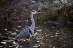 Where is my fish! (d50harry123) Tags: reiger birdphotography bird vogelfotografie natuurfotografie