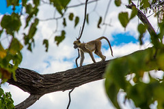 """Cousin on a Limb _5510 (hkoons) Tags: chobenationalpark firstbridge magweegate mbomaisland southernafrica thirdbridge africa botswana magwee monkey tree ancestor animal arbor beast biped bloom blossom branch branches bud buds canopy color family flora flower green group growth humanlike leaf leaves limb limbs mammal monkeys outdoors pack panorama primate roots soil stem sun sunshine trees trunk """"moremigamereserve"""