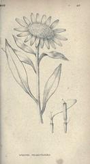 Anglų lietuvių žodynas. Žodis wyethia helianthoides reiškia <li>wyethia helianthoides</li> lietuviškai.