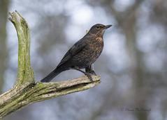 Female Blackbird (shaunmcdonagh) Tags: blackbird birds bird black nature northeast northeastbird gosforth gosforthpark woods o