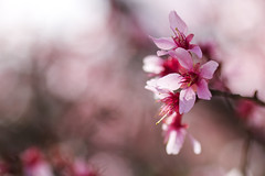 Cherry Blossoms (brandon_gerringer) Tags: cherryflowers cherry cherryblossoms flowers flowerphotography pink pinkflower bokeh nature naturephotography macro macrophotography tamron canon