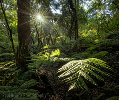 Fern Sparkle (Panorama Paul) Tags: paulbruinsphotography wwwpaulbruinscoza southafrica southerncape gardenroute knysnaforest indigenousforests treeferns nikond850 nikkorlenses nikfilters