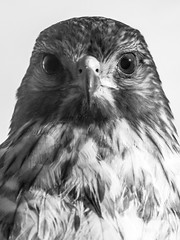 Red-Shouldered Hawk Mug SHot in Black and White (Bcpix.com) Tags: hollyhill fl usa