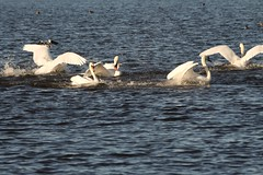 IMG_2447 (LezFoto) Tags: swan mute cygnusolor loirstonloch aberdeen scotland unitedkingdom canoneos700d sigma 700d canon 120400mmf4556dgapooshsm digitalslr dslr canonphotography sigmalens fight splash splashing action