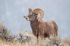 Big Horn Flurries... (DTT67) Tags: ram bighornsheep mammal 1dxmkii 500mmii canon1dxmkii canon animal snow snowfall mountains tetons nature wildlife