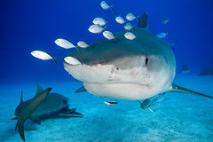 Emma (barnaclebarrett) Tags: shark tiger emma