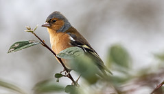 Chaffinch - Male (Patrick John Photography) Tags: canonef100400mmf4556lisusm chaffinch birds canon7dmk2