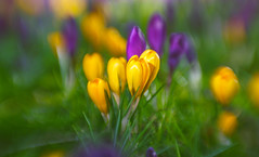 Crocus bokeh (Dhina A) Tags: sony a7rii ilce7rm2 a7r2 a7r psychotar 50mm noname50mm russian soviet ussr vintage monocle