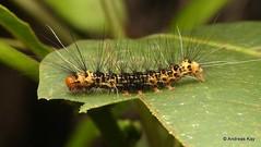Caterpillar of a Tiger moth, Dysschema sp., Erebidae (Ecuador Megadiverso) Tags: andreaskay arctiidae arctiinae caterpillar dysschemasp ecuador erebidae spiny tigermoth