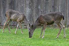 Black-tailed Deer (El Carmelo Cemetery) (stinkenroboter) Tags: blacktaileddeer odocoileushemionuscolumbianus muledeer elcarmelocemetery pacificgrove california