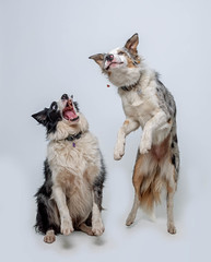 Double Dogging (Chris Willis 10) Tags: will biscuits dogs star studio dog pets animal purebreddog canine studioshot domesticanimals mammal cute friendship puppy cutout whitebackground small looking obedience nopeople younganimal frontview white collies jump biscuit