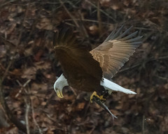Eagle RM-3 (Manns Woodland Perspective) Tags: eagle fishing birds flight caught fish flying bald