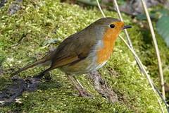 Robin (hedgehoggarden1) Tags: robin birds wildlife nature creature animal lackfordlakes suffolk eastanglia uk suffolkwildlifetrust bird moss