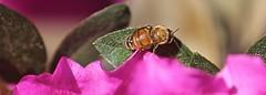 Bee on Azalea (Bill Jacomet) Tags: azalea azaleas flower flowers houston tx texas 2019