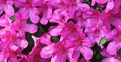 0B6A1624 (Bill Jacomet) Tags: azalea azaleas flower flowers houston tx texas 2019