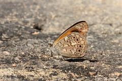 IMG_1656 Sevenia boisduvalii omissa ♂ (Raiwen) Tags: seveniaboisduvaliiomissa sevenia nymphalidae nymphalinae lepidoptera butterflies moyenneguinée guinea westafrica africa