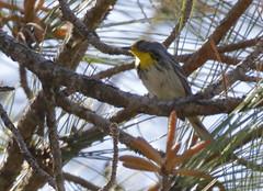 Olive-capped Warbler_19-03-01_Setophaga pityophila (Langham Birder) Tags: cuba olivecappedwarbler setophagapityophila