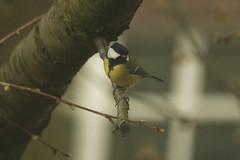 _MG_2315 (Nekogao) Tags: uk yorkshire bird birds birdwatching greattit tit passerine イギリス ヨークシャー 鳥 鳥類 シジュウカラ