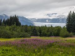 Fireweed Mendenhall Glacier 56 (Gillfoto) Tags: mendenhallglacier mendenhall juneau alaska fireweed glacier southeastalaska panhandle raincountry rainforest evergreen conifer