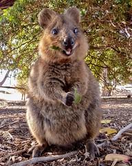Australia - Fauna - KOALA - 2 (monte-leone) Tags: australia australien fauna animals tiere koala