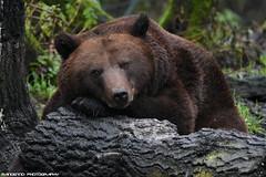 Brown bear - Olmense zoo (Mandenno photography) Tags: animal animals dierenpark dierentuin dieren olmense olmensezoo olmen belgie belgium bear brownbear brown bears ngc nature zoo