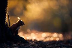 Eichhörnchen (generalstussner) Tags: eichhörnchen squirrel redsquirrel eurasischeeichhörnchensciurusvulgaris sciurusvulgaris bokeh sonnenaufgang sunrise morgensonne morningsun beautifullight canon natur nature beautiful wald tree trees forest golden