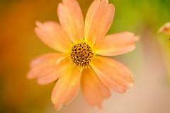 As Tears Go By (Thomas Hawk) Tags: cheesmanpark colorado denver denverbotanicgardens denverbotanicalgarden botanicalgarden flower fav10 fav25 fav50