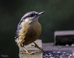 🇬🇧 Nuthatch (vickyouten) Tags: nuthatch nature naturephotography wildlife britishwildlife wildlifephotography nikon nikond7200 nikonphotography sigma sigma150600mmc risleymoss risleymossnaturereserve warrington uk vickyouten