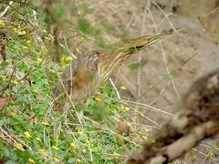 American Bittern, Bucks County, PA, April 2019 (sstaedtler) Tags: wildlife birding outside bittern buckscountypa pennsylvania nature outdoors rare american